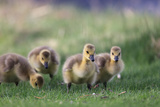 Portrait of Four Canada Goose Goslings, Branta Canadensis, Walking Through Grass Photographic Print by Robbie George