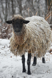 A Mixed Breed Sheep Ewe Standing in Snow Fotografisk tryk af Amy White and Al Petteway