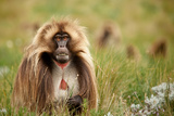 A Male Gelada Baboon, Theropithecus Gelada, Baring His Teeth on the Guassa Plateau Photographic Print by Robin Moore
