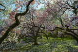 Magnolia Trees in Bloom Photographic Print by Diane Cook Len Jenshel