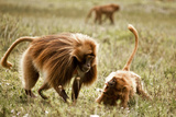 Gelada Baboons Fighting on the Guassa Plateau of Ethiopia Photographic Print by Robin Moore