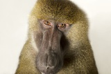A Guinea Baboon, Papio Papio, at the Indianapolis Zoo Photographic Print by Joel Sartore