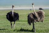 A Male Ostrich Challenging a Female Ostrich with His Beak Open on the Savannah Photographic Print by Jason Edwards
