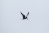 A Caspian Tern, Hydroprogne Caspia, in Flight with a Freshly Caught Fish in its Bill Photographic Print by Robbie George