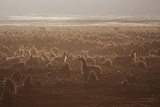 Llamas Settle Down at Sunset in Sajama National Park Photographic Print by Alex Saberi