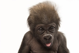 A Critically Endangered, Six-Week-Old Female Baby Gorilla, Gorilla Gorilla Gorilla, at the Cincinna Photographic Print by Joel Sartore