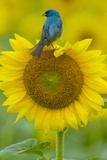 Portrait of an Indigo Bunting, Passerina Cyanea, on a Sunflower Fotografisk tryk af Paul Sutherland