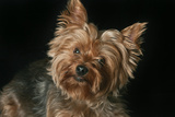 Close Up Portrait of a Pet Yorkshire Terrier Photographic Print by Vickie Lewis