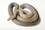 A Baird's Patchnose Snake, Salvadora Bairdi, at the Caldwell Zoo Photographic Print by Joel Sartore