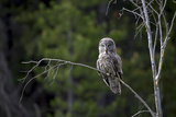 Portrait of a Great Gray Owl, Strix Nebulosa, Perched on a Tree Branch Photographic Print by Robbie George