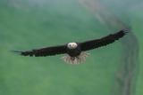 Ein Weißkopfseeadler im Flug Fotodruck von Tom Murphy
