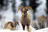A Bighorn Sheep Ram, Ovis Canadensis, Walking in the Snow Photographic Print by Robbie George