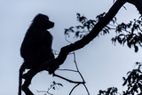 The Silhouette of an Olive Baboon Sitting on the End of a Branch in a Tree before Dawn Photographic Print by Jason Edwards
