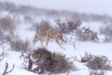 A Coyote Struggles Against the Wind in a Snowstorm Through Sagebrush in the Lamar Valley Photographic Print by Tom Murphy