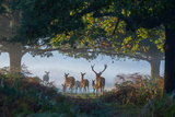 A Stag and Family of Red Deer Walk Through a Forest in Richmond Park Fotografisk tryk af Alex Saberi