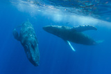 Two Endangered Humpback Whales, Megaptera Novaeangliae, Swimming in an Underwater Dance Photographic Print by Ralph Lee Hopkins