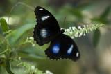 A Great Egg-Fly Butterfly, Hypolimnas Bolina, in the Butterfly Garden Lámina fotográfica por Sartore, Joel