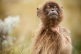 A Female Gelada Baboon, Theropithecus Gelada, Looking Inquisitively on the Guassa Plateau Photographic Print by Robin Moore