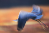 A Great Blue Heron, Ardea Herodias, Taking Flight at Sunset Photographic Print by Robbie George