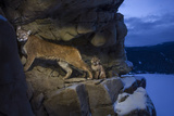 A Female Cougar and Her Kitten Use Rock Outcrops to Provide Shelter and Cover for Hunting Photographic Print by Steve Winter