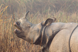 A Greater One-Horned or Indian Rhinoceros Eating in Early Sunlight and Fog Photographic Print by Roy Toft