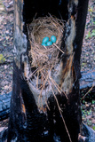 A Robin Nested and Laid Four Eggs Inside a Tree That Had Been Burned by the Fires of 1988 Photographic Print by Tom Murphy