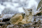 A Coyote, Canis Latrans, Lifts its Sleepy Head to Sniff the Air Photographic Print by Tom Murphy