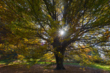 Sunlight Streaming Through a Tree and Landscape in Autumn Colors Photographic Print by Diane Cook Len Jenshel