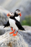 A Pair of Atlantic Puffins, Fratercula Arctica, Resting on a Rock Near their Nest Photographic Print by Robbie George