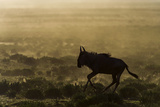 Silhouette of a Blue Wildebeest Running on the Short Grass Savannah in a Cloud of Dust at Sunset Photographic Print by Jason Edwards