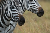 Close Up of the Faces of Two Zebras, Equus Species Photographic Print by Bob Smith
