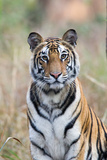 Portrait of a Bengal Tiger, Panthera Tigris Tigris Photographic Print by Roy Toft