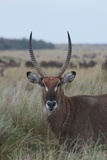 Close Up Portrait of a Waterbuck, Kobus Species Photographic Print by Bob Smith
