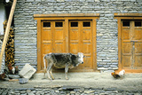 A Cow and Chickens Outside a Stone Farm House in Yunan Province Photographic Print by David Edwards