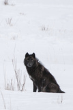 A Wolf Waiting in Snow Fotografisk tryk af Tom Murphy