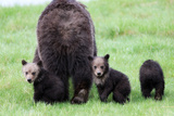 Two Grizzly Cubs, Ursus Arctos, Look Back While their Mother Walks Away Photographic Print by Robbie George