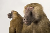 A Pair of Guinea Baboons, Papio Papio, at the Indianapolis Zoo Photographic Print by Joel Sartore