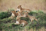 A Pride of Lion Cubs, Panthera Leo, Resting on a Hill Top Photographic Print by Bob Smith