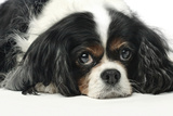 Close Up Portrait of a Pet Cavalier King Charles Spaniel Photographic Print by Vickie Lewis