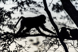 The Silhouette of an Olive Baboon Foraging on Leaves in a Tree at Dawn Photographic Print by Jason Edwards