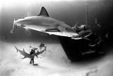 An Underwater Photographer Explores a Shipwreck as Caribbean Reef Sharks Circle Nearby Fotografie-Druck von Jennifer Hayes