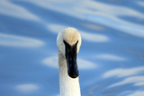Close Up Portrait of a Trumpeter Swan, Cygnus Buccinator, in Water Photographic Print by Robbie George