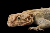 A Common Agama, Agama Agama, at the Indianapolis Zoo Photographic Print by Joel Sartore