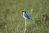 A Male Mountain Bluebird, Sialia Currucoides, Perched on a Twig Looking for Insect Prey Photographic Print by Robbie George