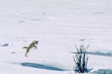 A Coyote Jumps High in the Air, to Pin a Mouse Located About a Foot Below the Snow Surface Photographic Print by Tom Murphy
