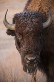 A Bison, Gaur Bos, on a Ranch Near Valentine, Nebraska Stampa fotografica di Sartore, Joel