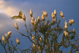 A Flock of Western Corellas Perching in a Tree in Australia's Outback in South Australia Photographic Print by Medford Taylor