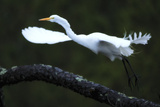 A Great Egret, Ardea Alba, Taking Off from a Tree Branch in the Rain Photographic Print by Robbie George