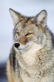 Close Up of a Coyote, Canis Latrans Photographic Print by Tom Murphy