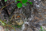 A Ptarmigan Chick, Lagopus Lagopus, in Summer Plumage Sitting in a Nest Photographic Print by Kike Calvo